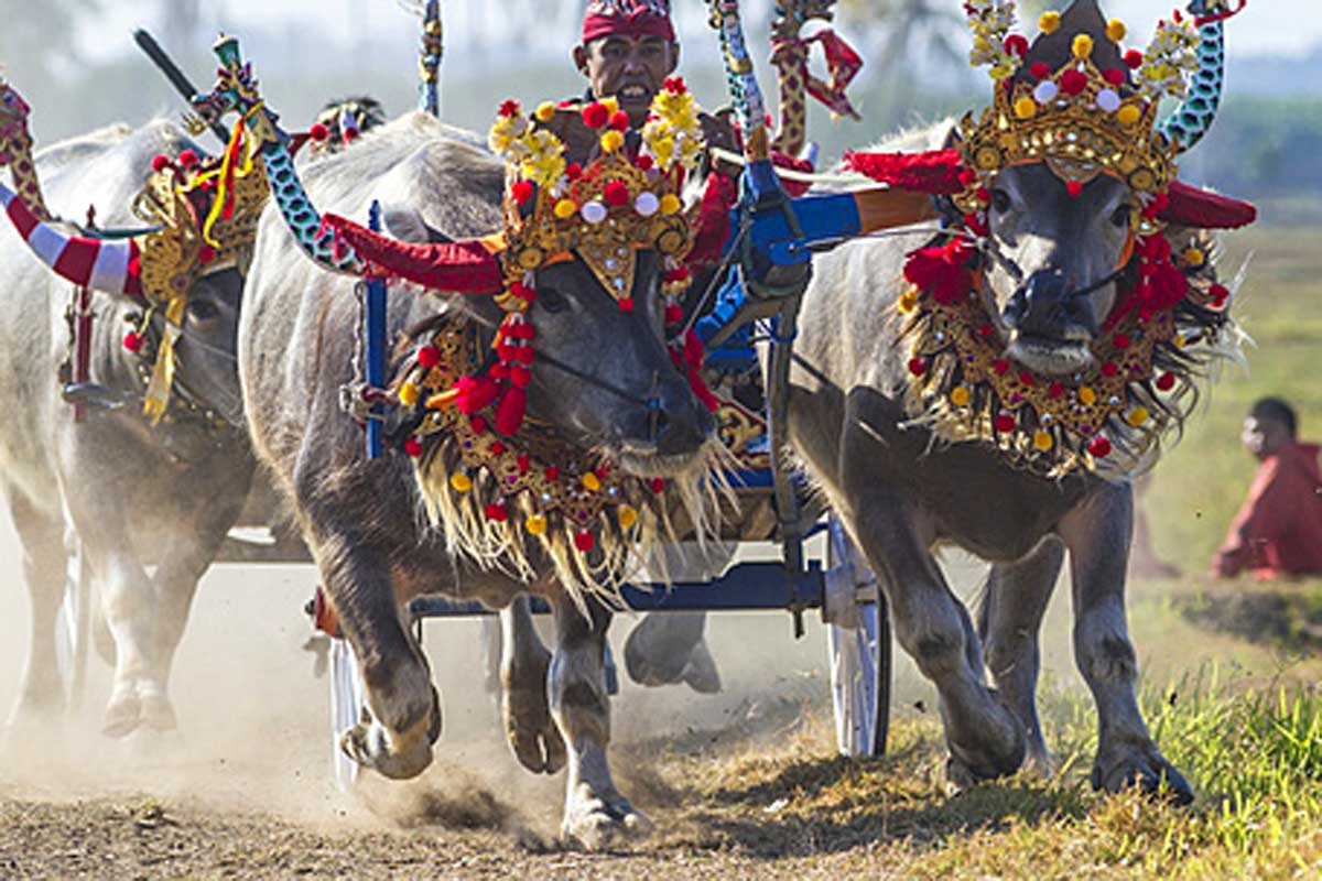 If you happen to plan a trip to west Bali in July and November, then the Mekepung (bull races) held in Perancak (close to Negara) that commemorate the end of the rice harvest are a must-see.  Her