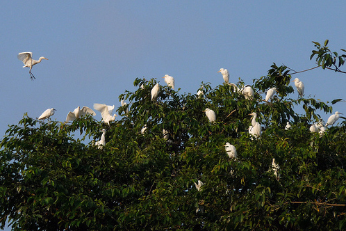 A mile north of Ubud is the small village of Petulu whose only claim to fame are the flocks of thous